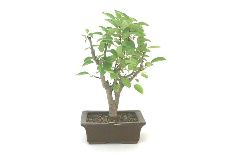 Bonsai Macieira ana aproximadamente 07 anos - medida da planta (AxL) 33x26 cm