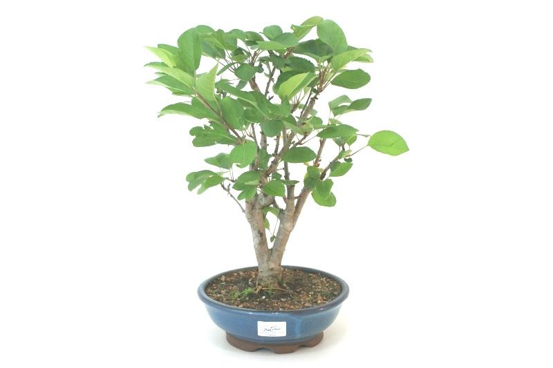 Bonsai Macieira ana aproximadamente 08 anos - medida da planta (AxL) 35x30 cm