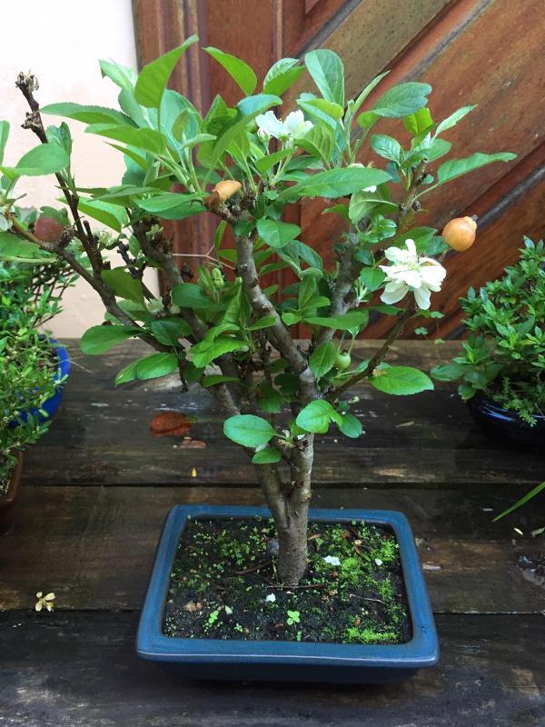 Bonsai Macieira ana aproximadamente 08 anos - medida da planta (AxL) 37x28 cm