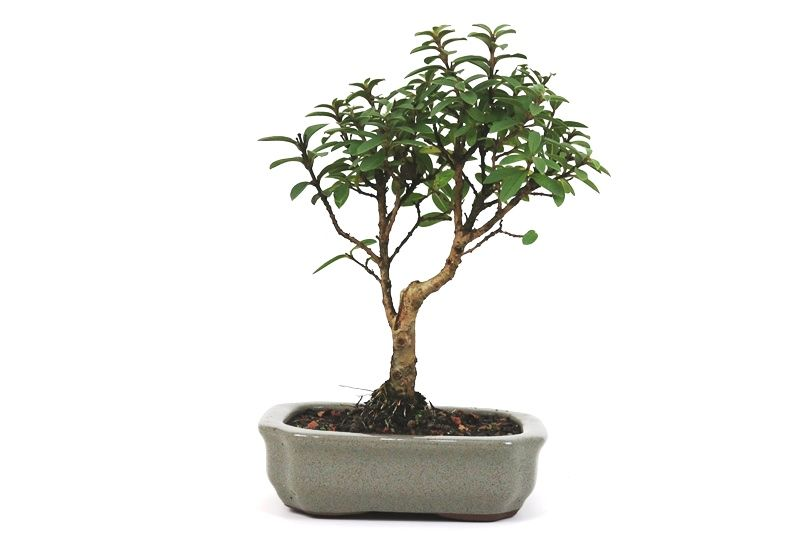 Bonsai Mini Goiaba 04 anos - medida da planta (AxL) 20x15 cm