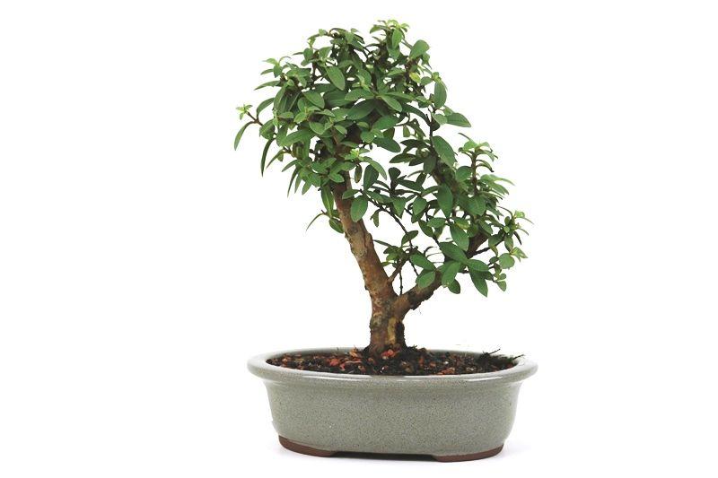 Bonsai Mini Goiaba 05 anos - medida da planta (AxL) 21x18 cm