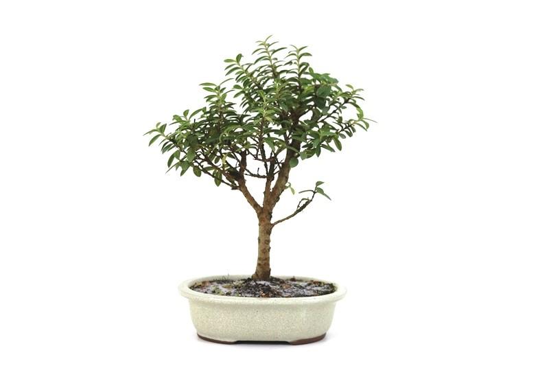 Bonsai Mini Goiaba 05 anos - medida da planta (AxL) 25x23 cm