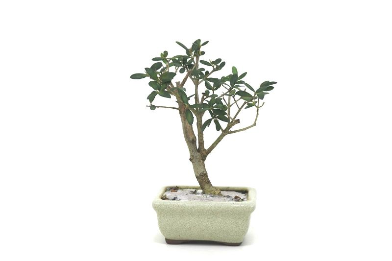 Bonsai Oliveira 02 anos - medida da planta (AxL) 17x12 centímetros