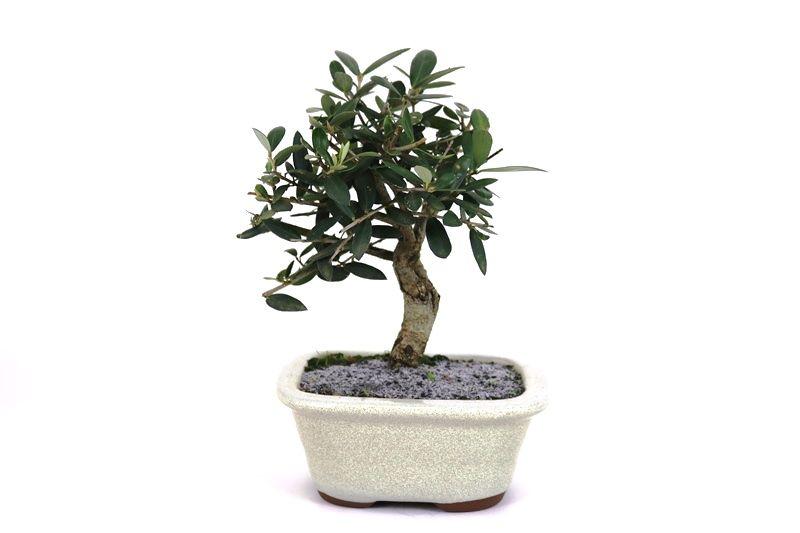 Bonsai Oliveira 03 anos - medida da planta (AxL) 19x17 cm