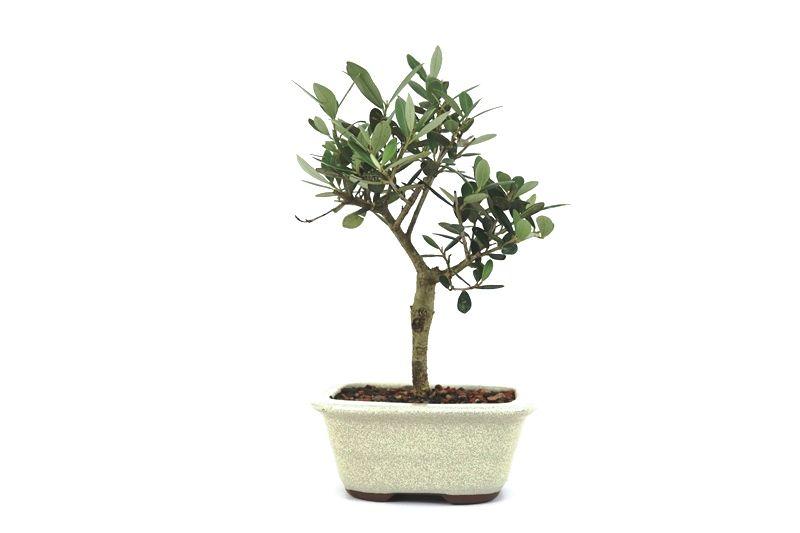 Bonsai Oliveira 03 anos - medida da planta (AxL) 21x14 cm