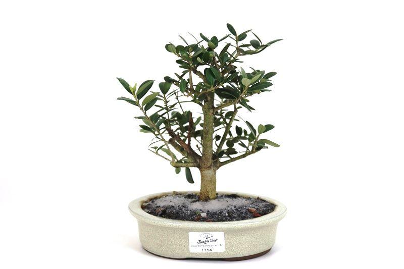 Bonsai Oliveira 04 anos - medida da planta (AxL) 18x16 cm