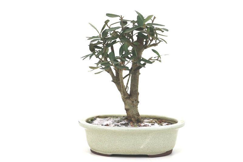 Bonsai Oliveira 05 anos - medida da planta (AxL) 19x10 centímetros