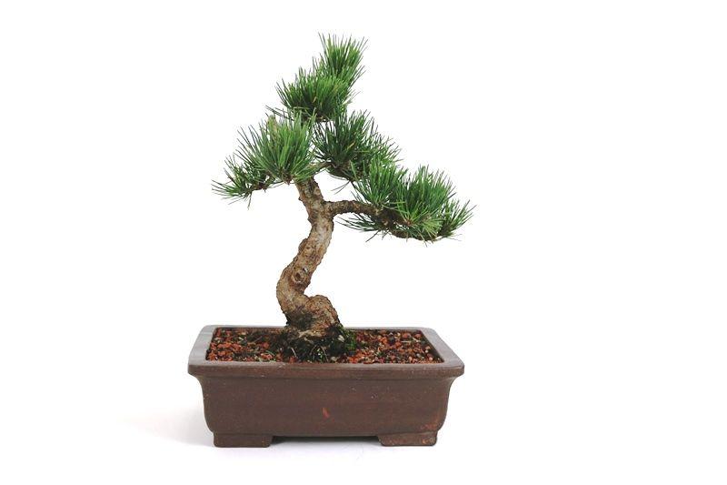 Bonsai Pinheiro Negro - 12 anos - medida da planta (AxL) 33x29 cm