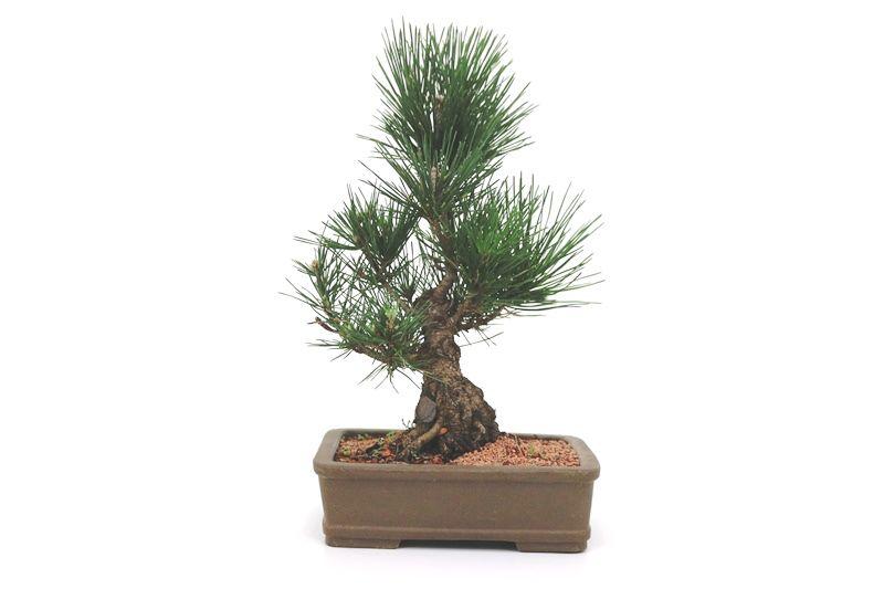 Bonsai Pinheiro Negro - 12 anos - medida da planta (AxL) 34x30 cm