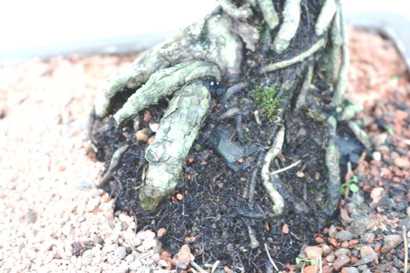 Bonsai Pinheiro Negro - 18 anos - medida da planta (AxL) 38x30 cm