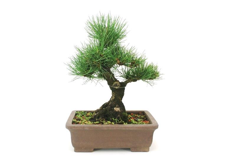 Bonsai Pinheiro Negro - aproximadamente 14 anos - medida da planta (AxL) 31x28 cm