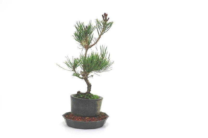Bonsai Pinheiro Negro - vaso Izume 06 anos - medida da planta (AxL) 15x15 cm