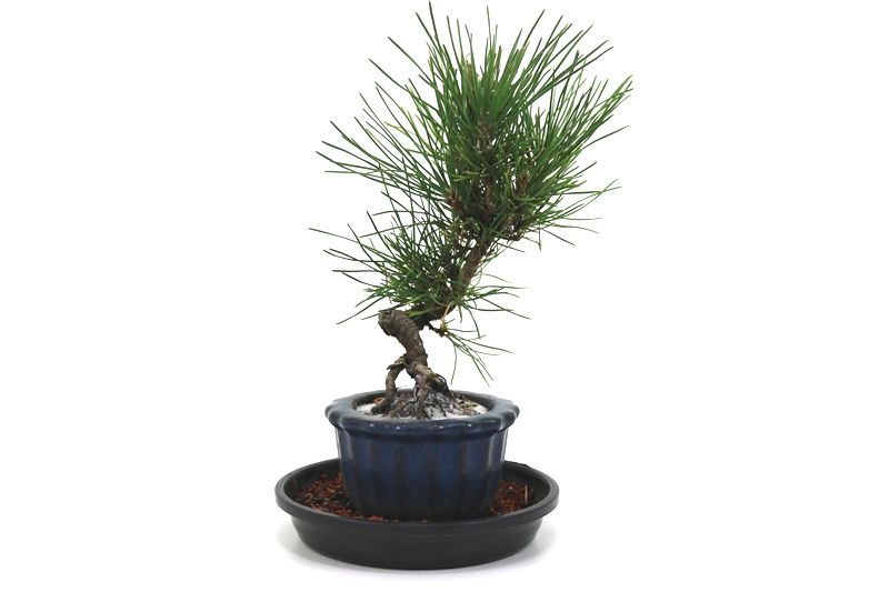 Bonsai Pinheiro Negro - vaso Izume 06 anos - medida da planta (AxL) 19x10 centímetros