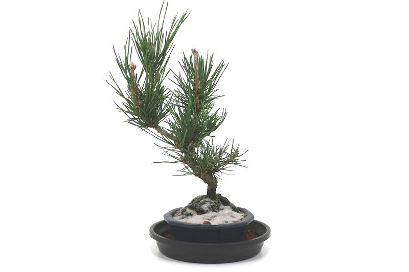Bonsai Pinheiro Negro - vaso Izume 06 anos - medida da planta (AxL) 20x10 centímetros