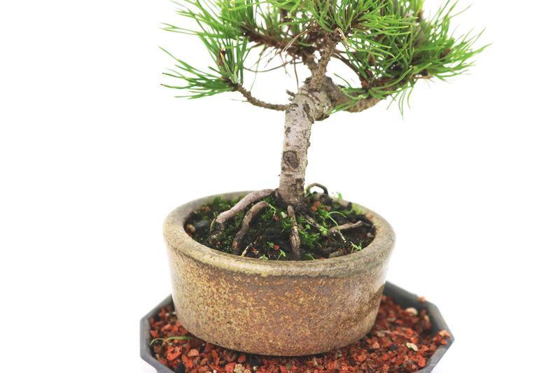 Bonsai Pinheiro Negro - vaso Izume 06 anos - medida da planta (AxL) 20x20 cm