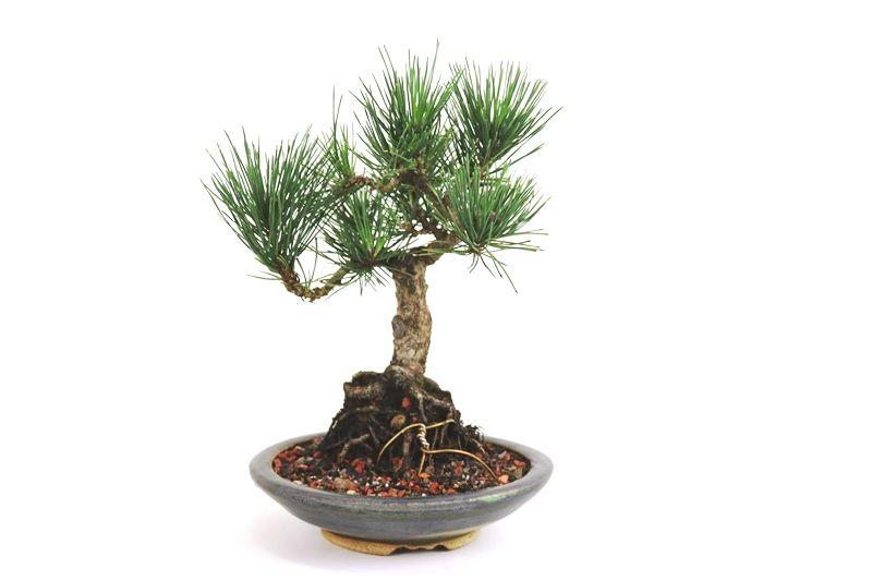 Bonsai Pinheiro Negro - vaso Izume 08 anos - medida da planta (AxL) 31x28 cm
