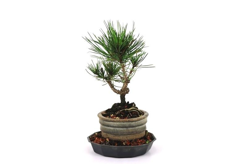 Bonsai Pinheiro Vermelho 03 anos - medida da planta (AxL) 18x9 cm