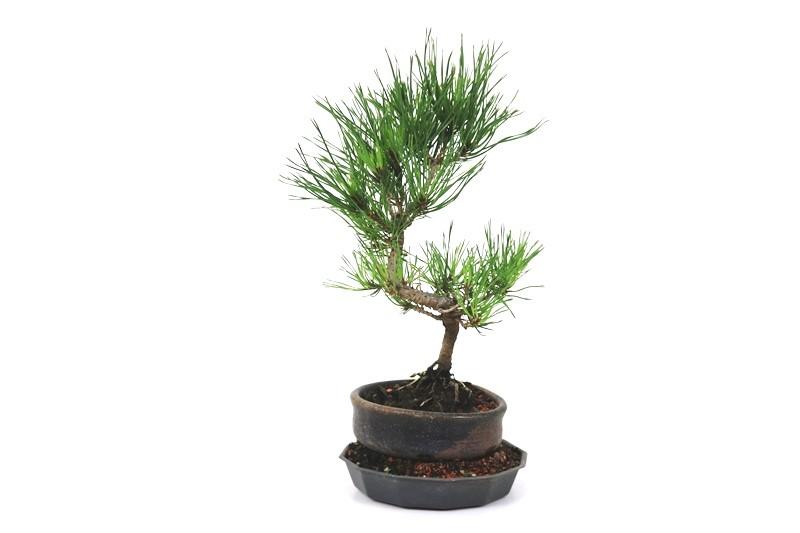 Bonsai Pinheiro Vermelho 03 anos - medida da planta (AxL) 20x15 cm