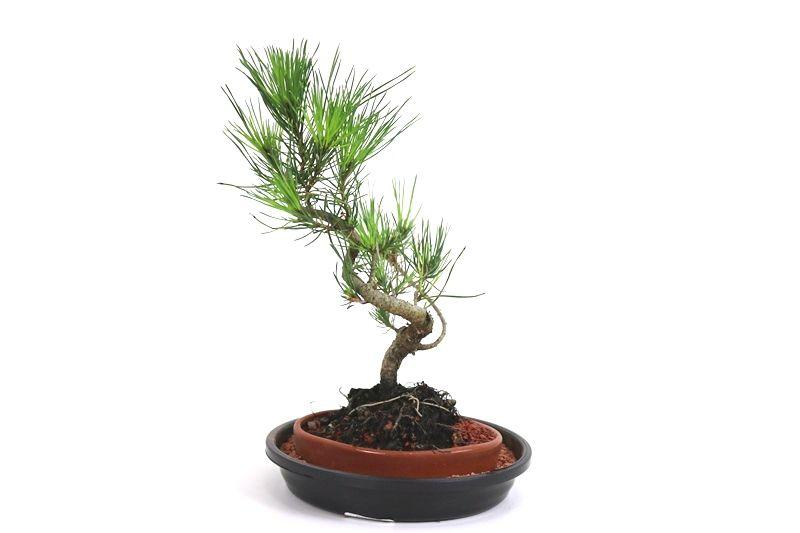 Bonsai Pinheiro Vermelho 03 anos - medida da planta (AxL) 22x13 cm