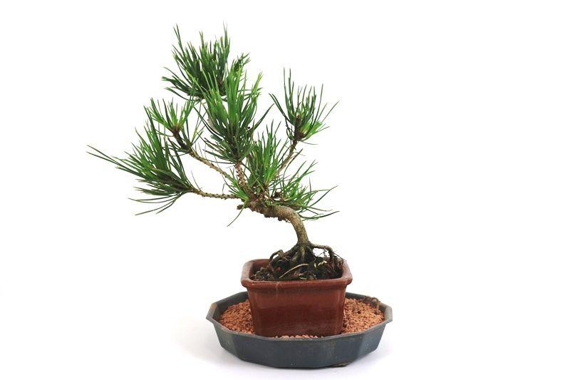 Bonsai Pinheiro Vermelho 03 anos - medida da planta (AxL) 22x16 cm