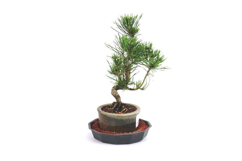 Bonsai Pinheiro Vermelho 03 anos - medida da planta (AxL) 23x08 cm