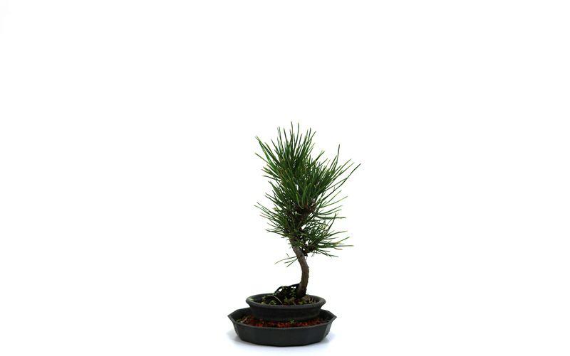 Bonsai Pinheiro Vermelho 04 anos - medida da planta (AxL) 17x5 cm