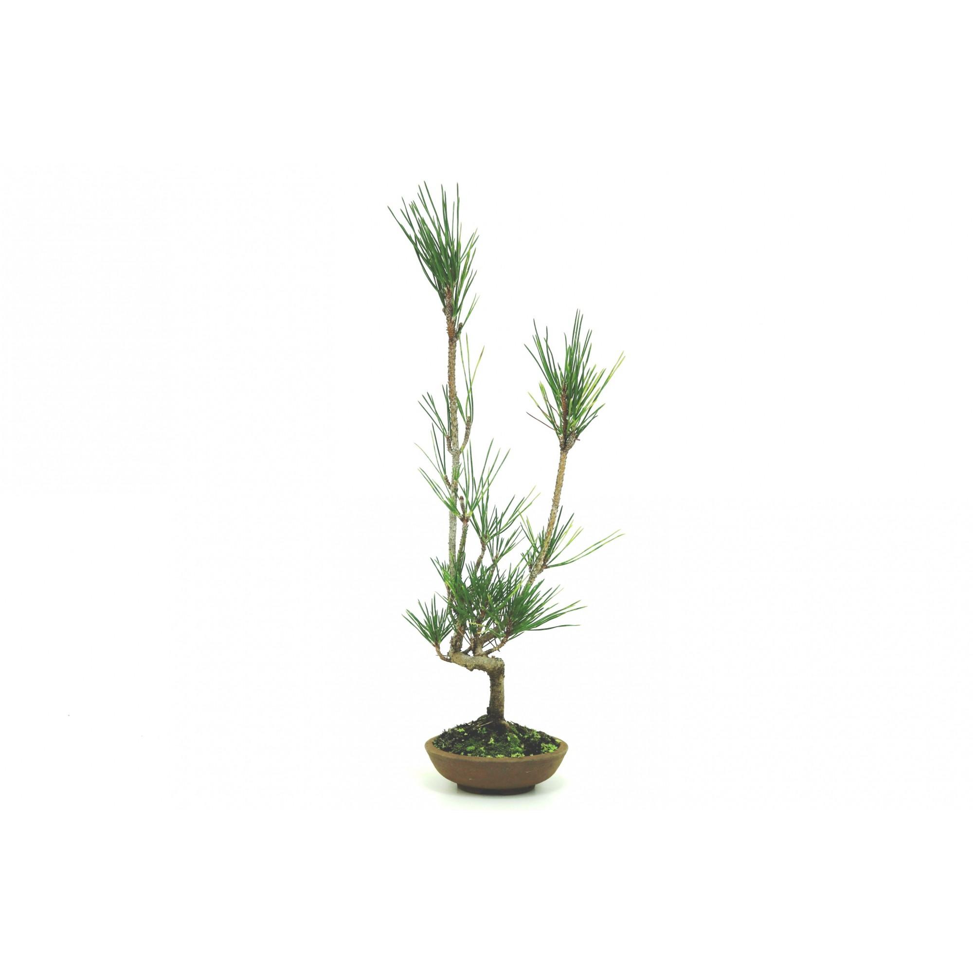 Bonsai Pinheiro Vermelho 06 anos - medida da planta (AxL) 40x13 cm
