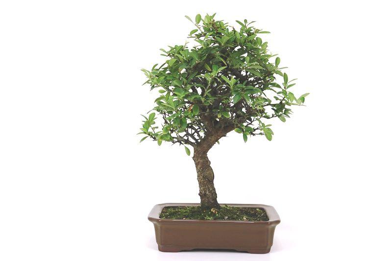 Bonsai Piracanta amarela 12 anos - medida da planta (AxL) 37x32 cm