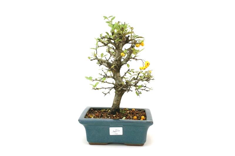 Bonsai Piracanta amarela aproximadamente 07 anos - medida da planta (AxL) 24x23 cm