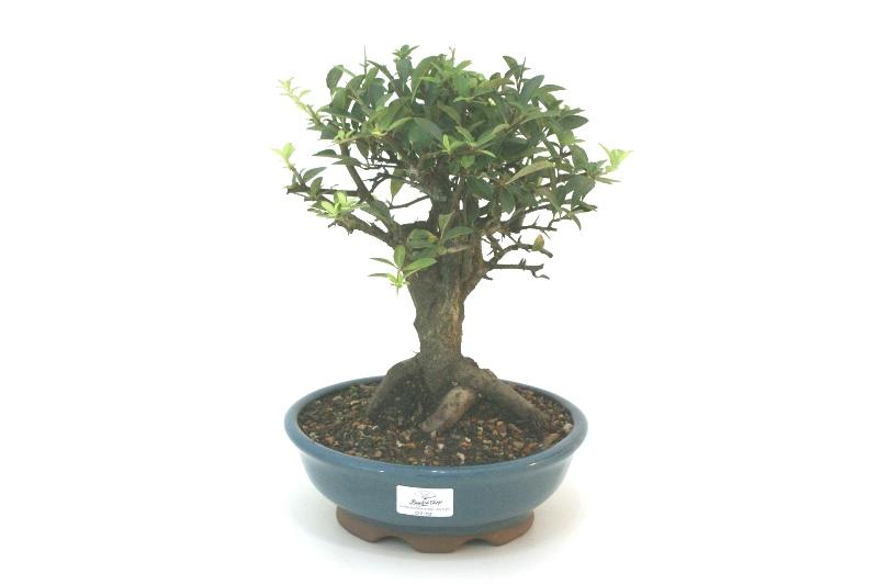 Bonsai Piracanta amarela aproximadamente 08 anos - medida da planta (AxL) 24x23 cm