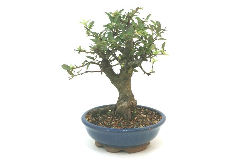 Bonsai Piracanta amarela aproximadamente 08 anos - medida da planta (AxL) 26x24 cm