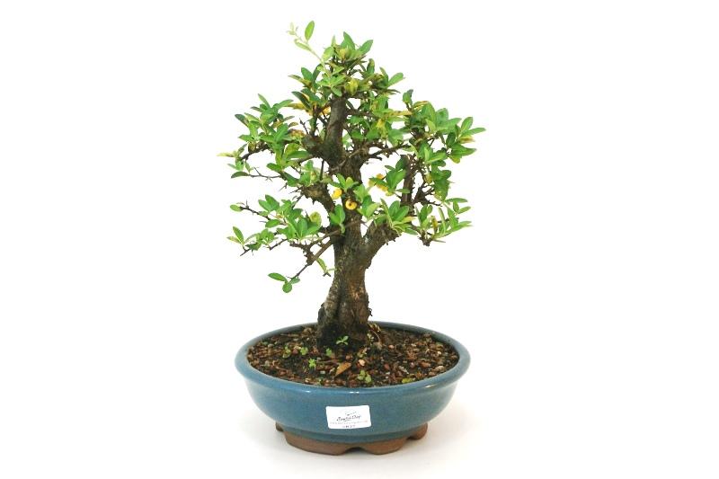 Bonsai Piracanta amarela aproximadamente 08 anos - medida da planta (AxL) 27x23 cm