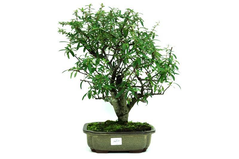 Bonsai Piracanta amarela aproximadamente 14 anos - medida da planta (AxL) 39x34 cm