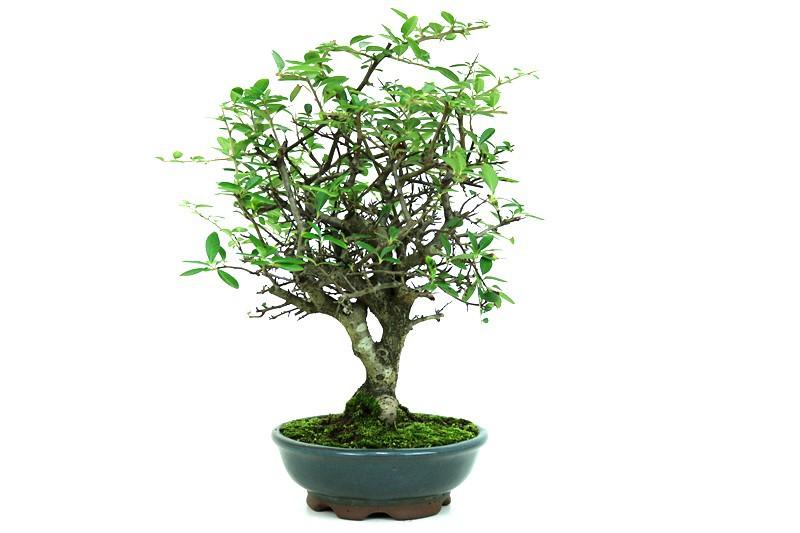 Bonsai Piracanta aproximadamente 08 anos - medida da planta (AxL) 35x23 cm