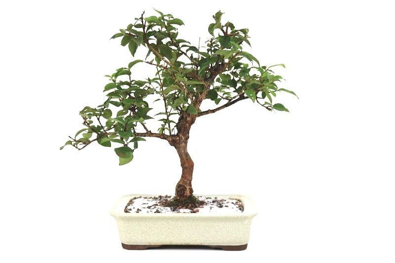 Bonsai Pitanga 06 anos - medida da planta (AxL) 31x36 cm