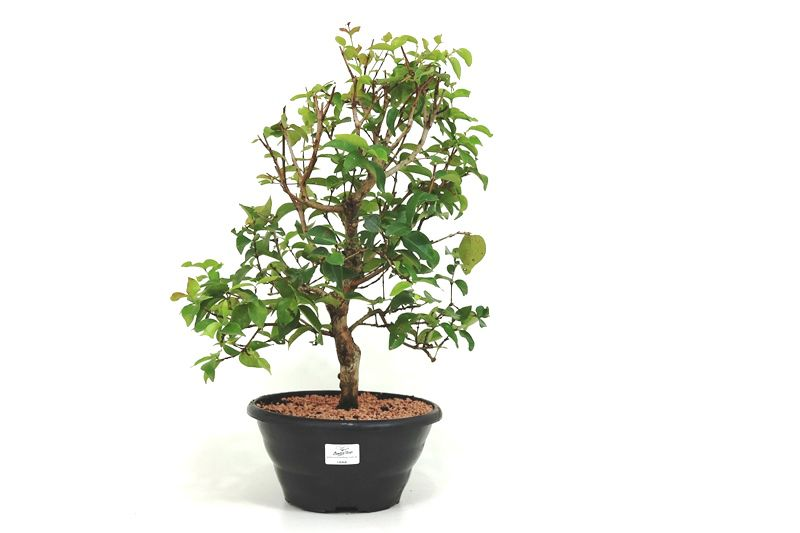 Bonsai Pitanga 06 anos - medida da planta (AxL) 41x28 cm