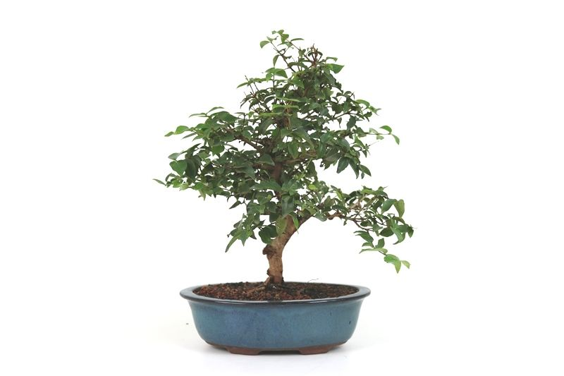Bonsai Pitanga 10 anos - medida da planta (AxL) 40x39 cm