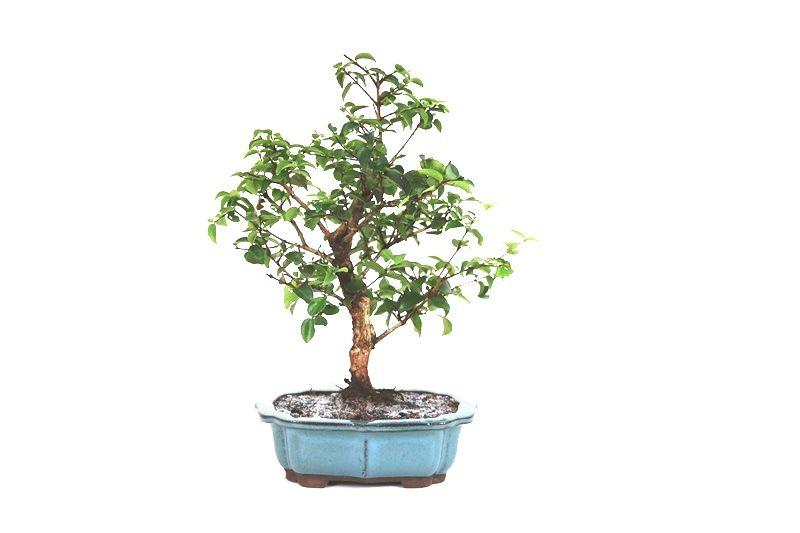 Bonsai Pitanga 12 anos - medida da planta (AxL) 34x28 cm