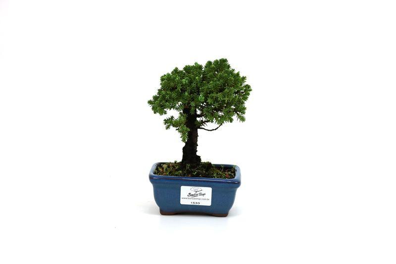 Bonsai Procumbens  02 anos Medida da Planta (AxL) 12x10 cm