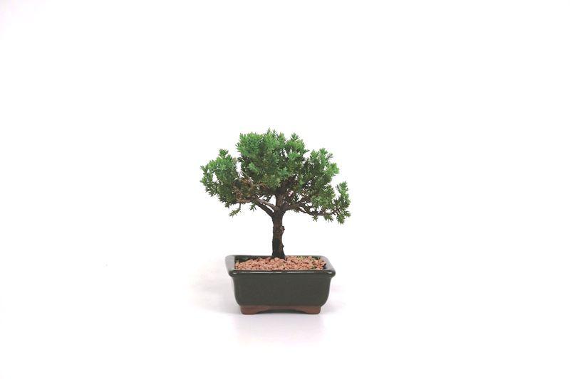Bonsai Procumbens  02 anos Medida da Planta (AxL) 12x13 cm