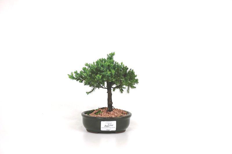 Bonsai Procumbens  02 anos Medida da Planta (AxL) 12x15 cm