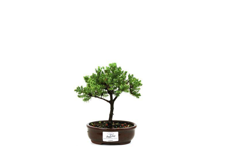 Bonsai Procumbens  02 anos Medida da Planta (AxL) 13x15 cm