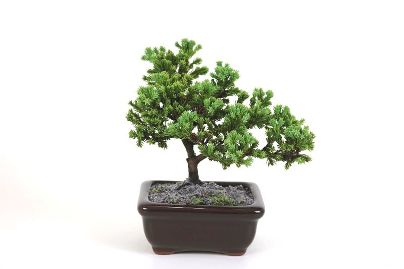 Bonsai Procumbens  02 anos Medida da Planta (AxL) 13x16 cm