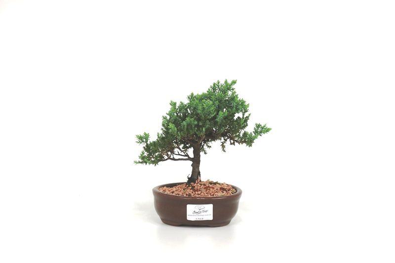 Bonsai Procumbens  02 anos Medida da Planta (AxL) 14x17 cm