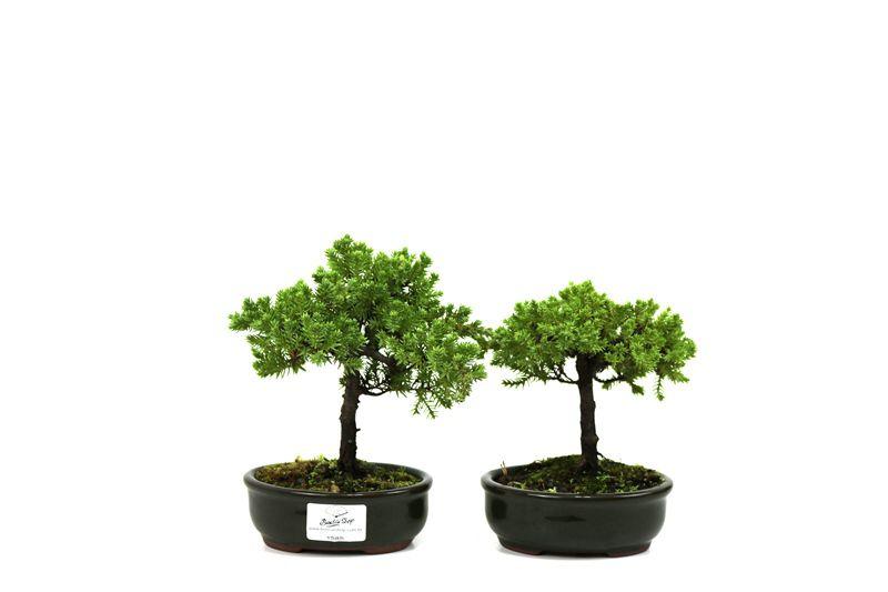 Bonsai Procumbens  02 anos Medida da Planta (AxL) 15x15 cm
