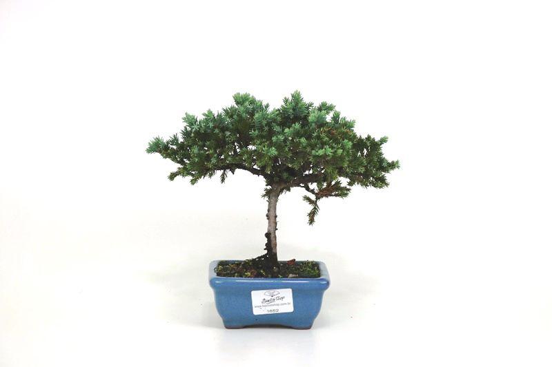 Bonsai Procumbens  02 anos Medida da Planta (AxL) 15x21 cm