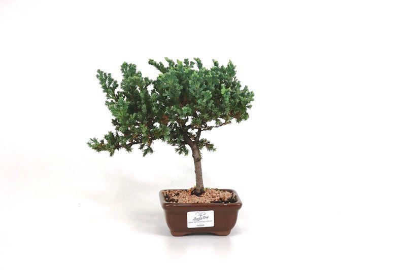Bonsai Procumbens  02 anos Medida da Planta (AxL) 17x20 cm