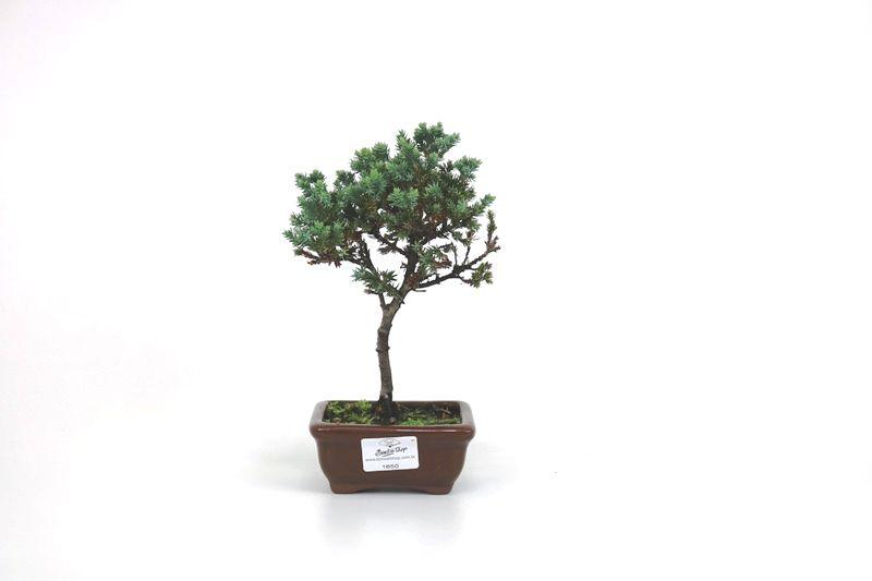 Bonsai Procumbens  02 anos Medida da Planta (AxL) 18x13 cm