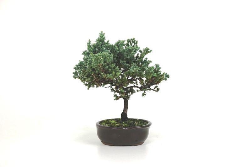 Bonsai Procumbens  02 anos Medida da Planta (AxL) 18x18 cm