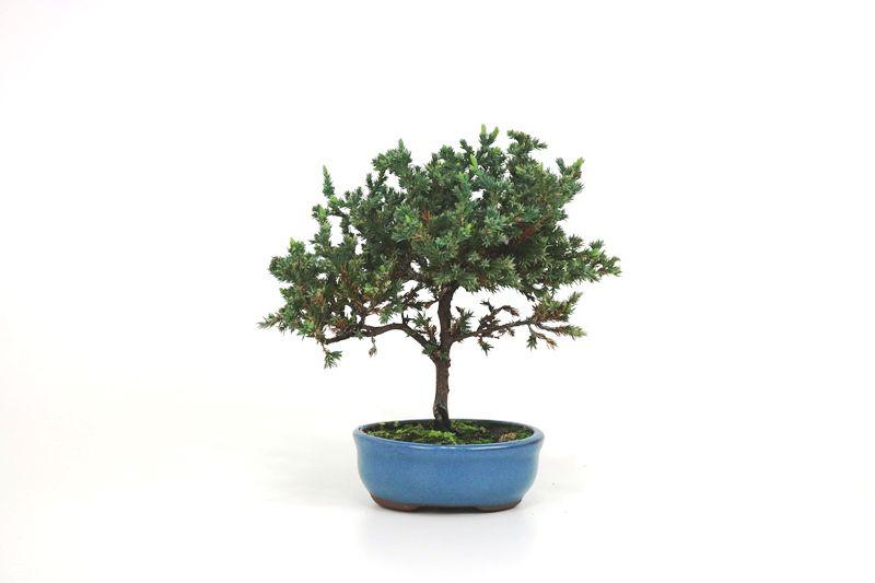 Bonsai Procumbens  02 anos Medida da Planta (AxL) 20x22 cm